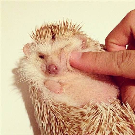 Best ハリネズミ Images On Pinterest Adorable Animals Cute - Darcy cutest hedgehog ever