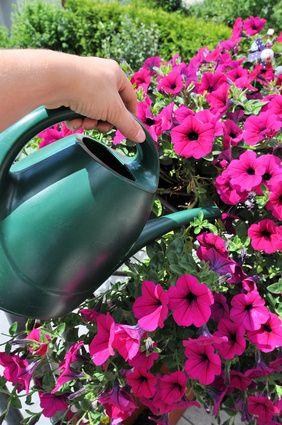 Petunien sind sehr beliebte Balkon- und Garten-Pflanzen. Viele Tipps und Tricks zur Pflege von Petunien gibt es hier. Jetzt Petunien zum Blühen bringen.