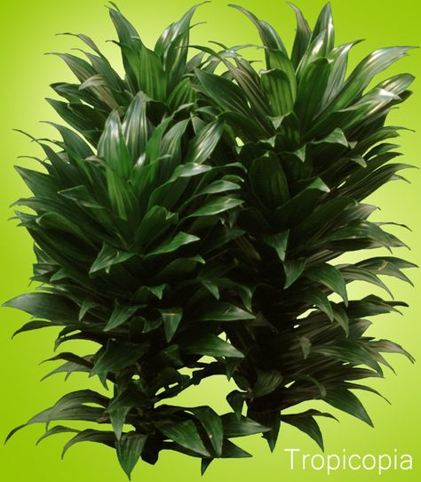 best office plants dracaena compacta has a thick green stem clumps of short dark green leaves