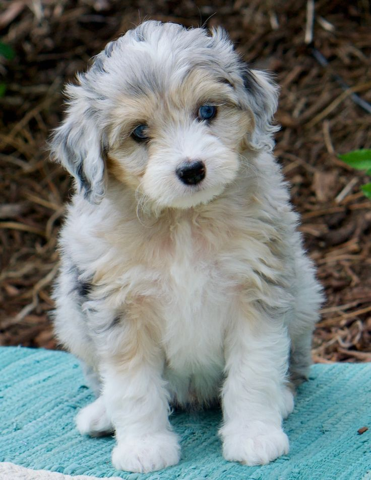 Exceptional Aussie Doodles has a selection of adorable