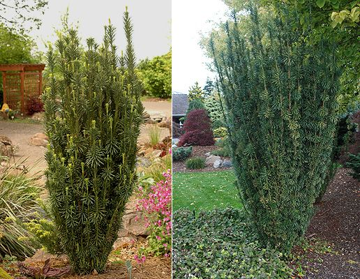 Columnar Plum Yew (Cephalotaxus harringtonia 'Fastigiata') is a tough, upright shrub. This is one of various yews you might select, including others with yellow foliage.