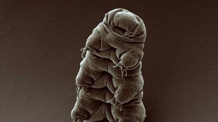 Cosa sopravviverebbe a un disastro naturale sulla Terra? Da uno studio pubblicato venerdì sulla rivista Scientific Reports pare che i tardigradi siano in grado di farlo. Si tratta di invertebrati grandi meno di 0,1 mm e che possono raggiungere da adulti 1,5 mm di lunghezza. Si trovano dappertutto. Dall'Himalaya all'Artico. Possono sopravvivere quasi a un decennio in condizioni di totale disidratazione, per pochi minuti a 151 °C, per parecchi giorni a -200 °C, ad alti livelli di radiazione…