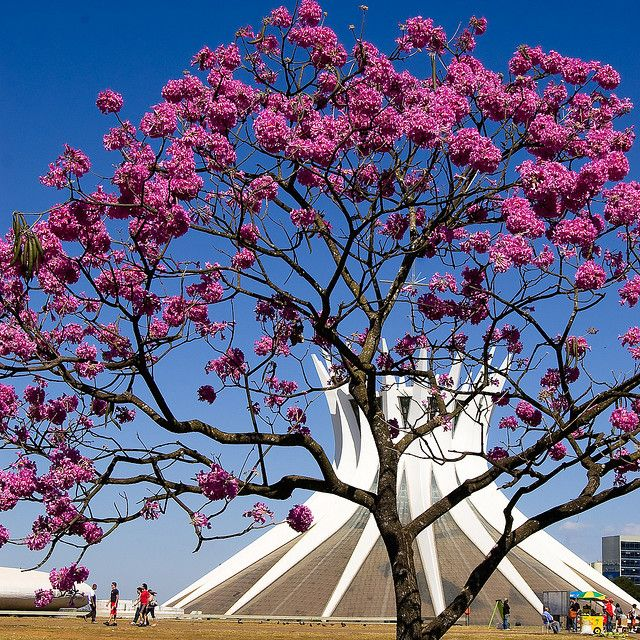 The Cathedral of Brasilia was designed by archietct Oscar Niemeyer and built in the early 70s on the Esplanade of the Ministries (Mall) that leads up to the Congress.    The trees in the foregorund are the spectacular Ipê Roxo (Tabebuia impetiginosa), which are in bloom now for almost two months.