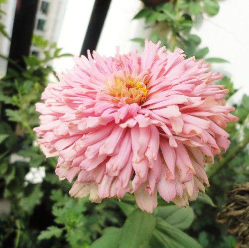 50 Pink Zinnia Seeds Chrysanthemum Zinnia Elegans Ornamental Garden Flowers A092 | Home & Garden, Yard, Garden & Outdoor Living, Plants, Seeds & Bulbs | eBay!