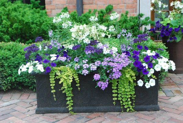 coin purses Nicotiana, petunias, creeping jenny, white cleome, verbena and heliotrope | Flower Garden |  | Petunias, Planters and Window Boxes