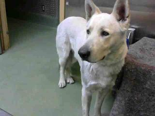 DEVORE,CA. EUTH LIST. 12/15/17. Skipper ID#A686984. 4 yr. old male White Shepherd mix. Medical waiver required. (Possibly hit by car. Tire marks/grease on right side/limping). Arrived 12/10/17.