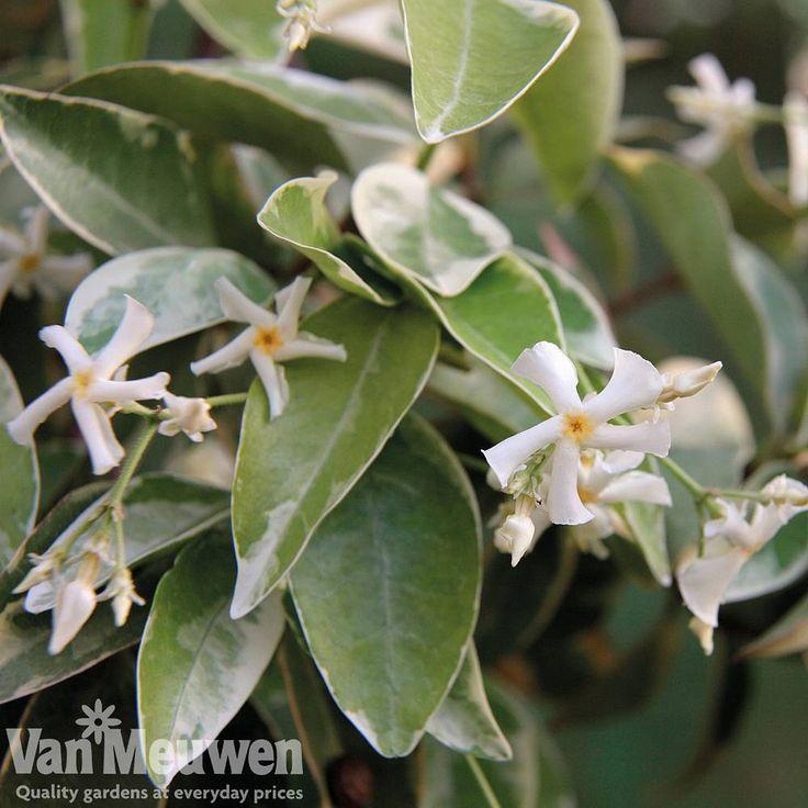 Trachelospermum jasminoides 'Variegatum' | 'heavenly scent'