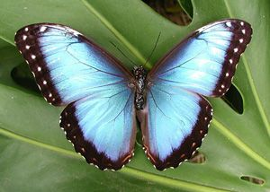 As its common name implies, the blue morpho butterfly's wings are bright blue, edged with black. The wings are five to eight inches wide. Their vivid, iridescent blue coloring is a result of the microscopic scales on the backs of their wings, which reflect light. The underside of the morpho's wings, on the other hand, is a dull brown color with many eyespots, providing camouflage against predators such as birds and insects when its wings are closed.