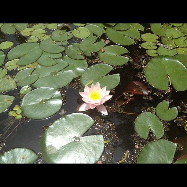 Mi flor favorita #loto