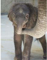Photo Credits: Toledo Zoo/Andi Norman You may have first heard of Lucas, the African elephant born at the Toledo Zoo in June 2011 in our ZooBorns article HERE. Baby Lucas and his mom Renee got a chance to check out...