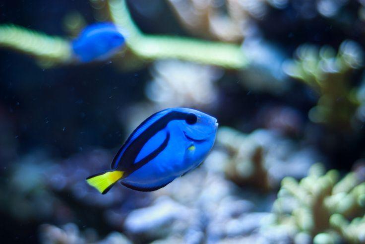 Freshwater aquarium fish species cpt nemo 39 s tank for Exotic freshwater fish