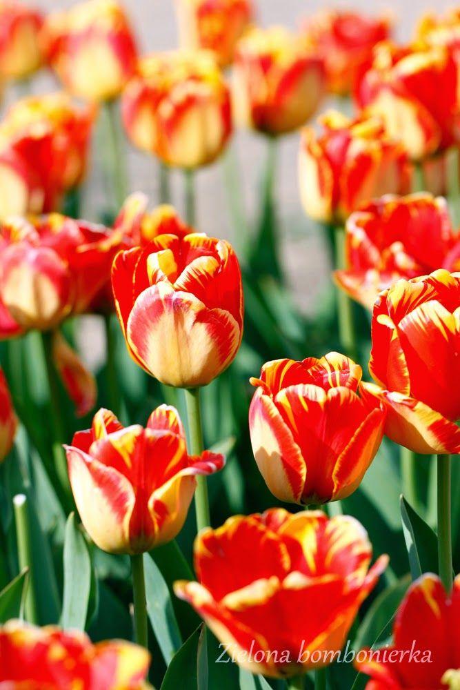 Zielona bombonierka: Międzynarodowe Targi Tulipanów 2015 - fotorelacja