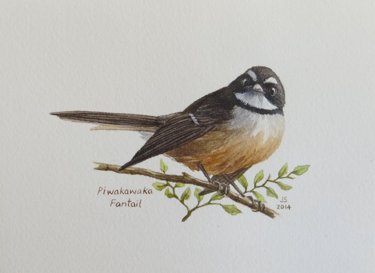 Piwakawaka - Fantail  watercolour Jane Sinclair
