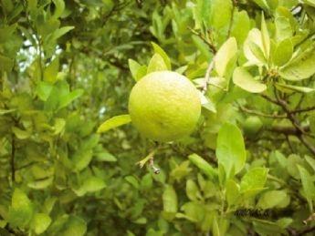 Limón: beneficios para la salud