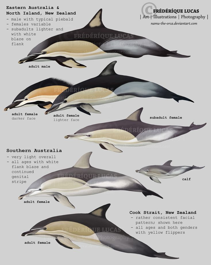 common dolphin (Delphinus delphis) of Australia and New Zealand by namu-the-orca on DeviantArt