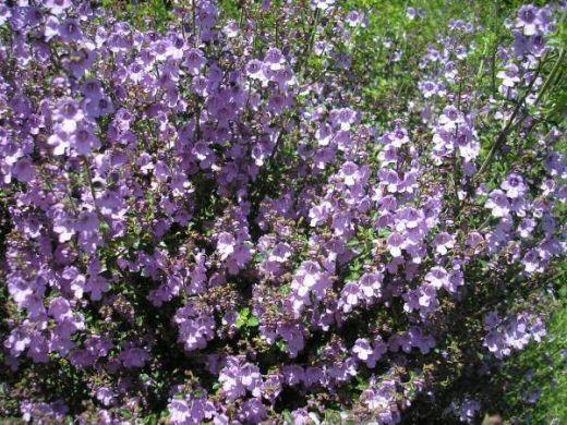 native mint bush prostanthera minty.  amazing smell, seen in otways forest holiday