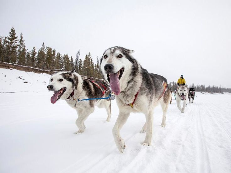 What it feels like to be a sled dog in the Yukon