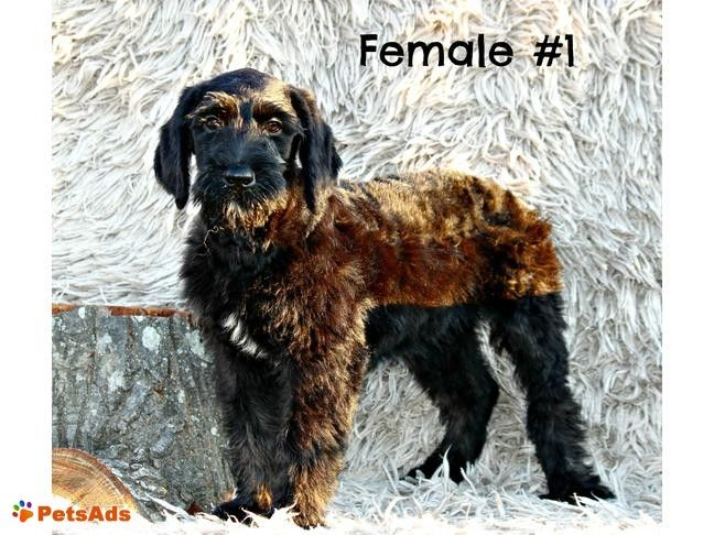 Giant Schnoodle Puppies Puppies Schnoodle Puppy Giant Schnauzer