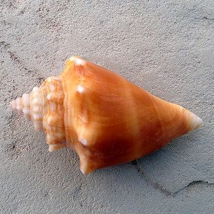 Florida Fighting Conch | 13 Stunning Seashells And Their Rightful Owners