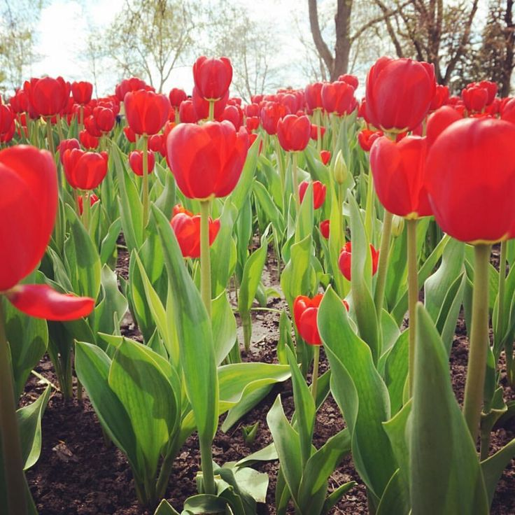 """Canadian Tulip Festival - Sarah   Ranga Adventures  (@rangaadventures) on Instagram: """"Did you manage to catch my latest blog post about the beautiful Canadian Tulip Festival in Ottawa?…"""""""