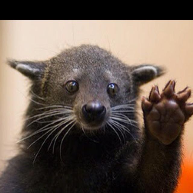 Bearcat high five!: High Five, Animal Capshunz, Funny Pictures, Pet, Cincinnati Bearcat, Things, Silly Animal, Strange Animal, High Schools