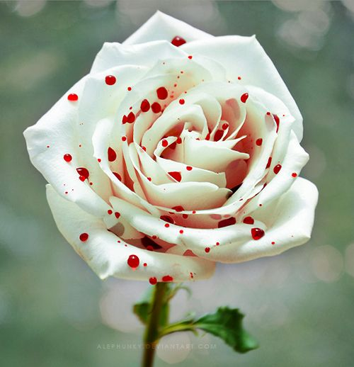 ~ A Polka Dot Rose ~