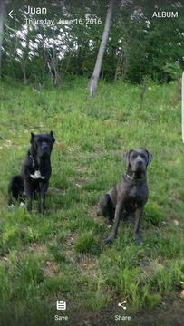 Cane Corso puppy for sale in IMPERIAL, MO. ADN-38638 on PuppyFinder.com Gender: Male. Age: 10 Weeks Old