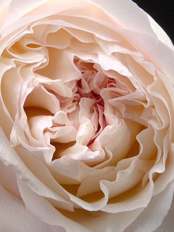 david austin rose perfection flowers pinterest david austin roses david and roses. Black Bedroom Furniture Sets. Home Design Ideas
