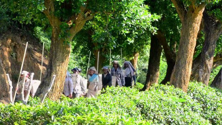 Samawatte Tea Estate - Dilmah :: For more on this and other Dilmah Estates visit: http://estates.dilmahtea.com