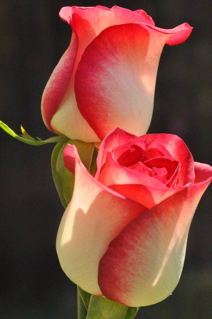 Tulip Bushing Beauty #Flowers #Tulips