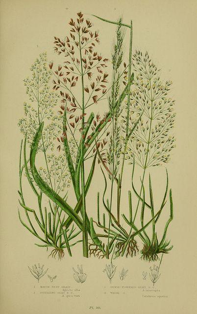 Plate 260, The flowering plants, grasses, sedges, & ferns of Great Britain. London,F. Warne,1905..