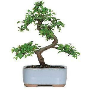 The Chinese Elm Bonsai Tree from Nursery Tree Wholesalers is always a perfect addition of style and grace to any coffee table.