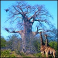 Giraffes with baobab tree in the Kruger National Park, Limpopo