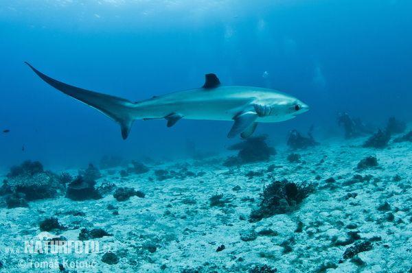 Requin-renard pélagique