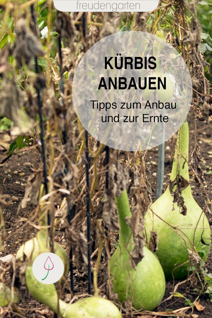 Kurbis Anbauen Nutzgarten Anlegen Pflanzen Pflegeleichte Pflanzen