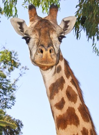 138 best Giraffes images on Pinterest Animals Giraffe and Nature