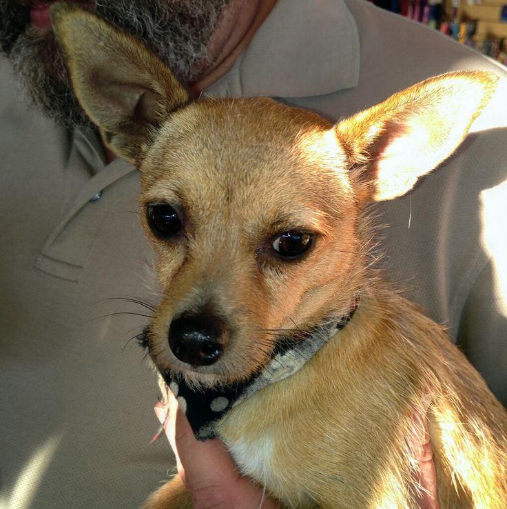 Jack Chi dog for Adoption in Forreston, TX. ADN-452589 on PuppyFinder.com Gender: Female. Age: Young
