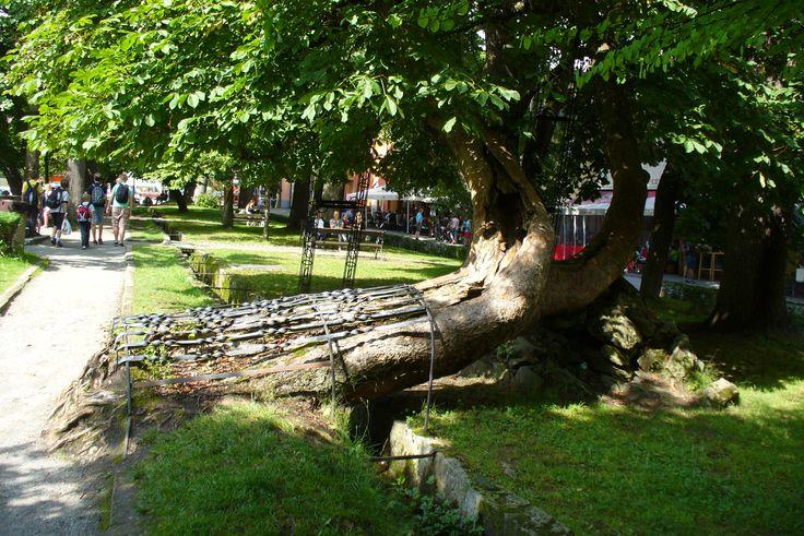Czech Republic, Frimburk, a special tree, photo by Irena Škrabková