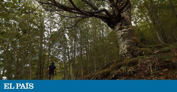 El Hayedo de Montejo, un paraje único en la región, ha obtenido la calificación de Patrimonio Natural de la Humanidad por la Unesco