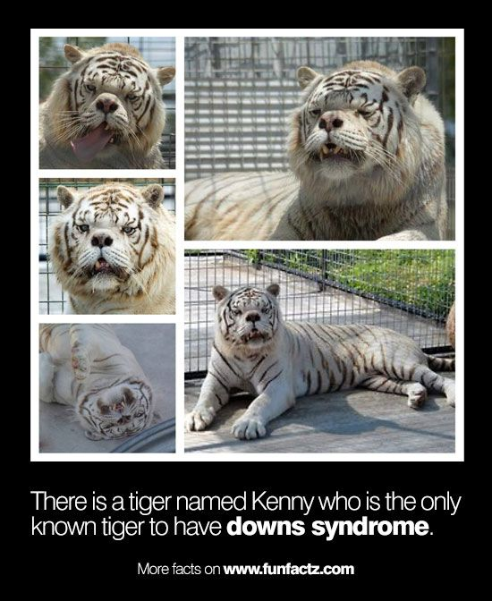 There is a tiger named Kenny who is the only known tiger to have downs syndrome.