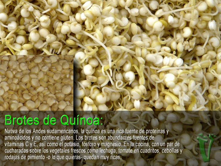 brotes o germinados de quinoa