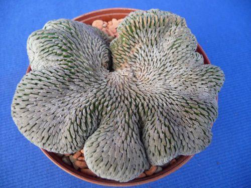 Pelecyphora aselliformis cristata
