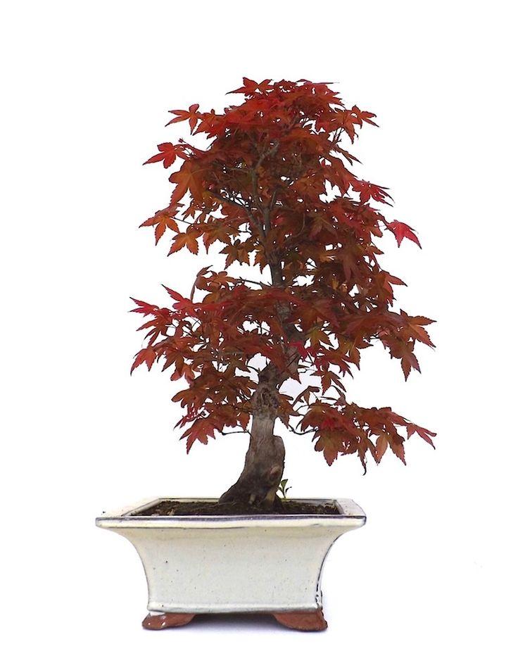 222 best bonsai images on pinterest bonsai blume und budget. Black Bedroom Furniture Sets. Home Design Ideas