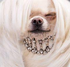 sarışın chihuahua köpek resmi yukariya photo