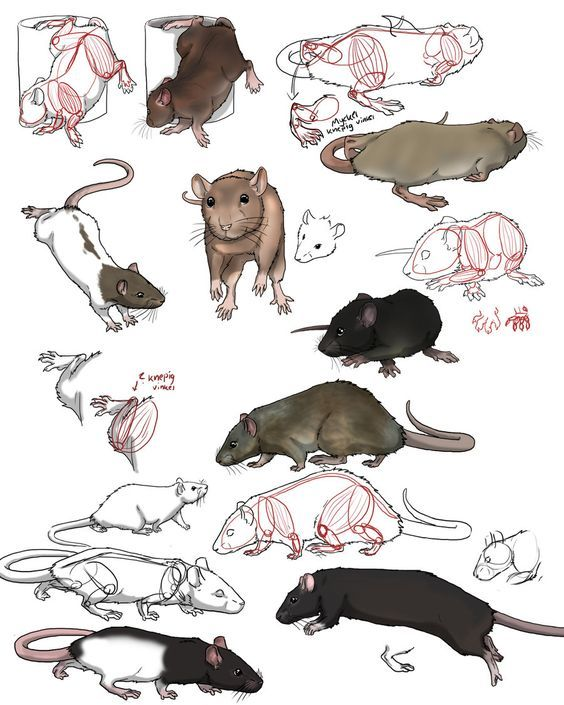Practise On Rats By Swegizmo On Deviantart Animal