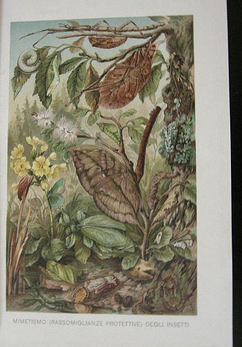 Mimetismo (rassomiglianze protettive) degli insetti. s.d. (ma 1900 ca.). Storia natule - Etologia - Animali - Insetti - Mimetismo - Stampa - Scienza -  -
