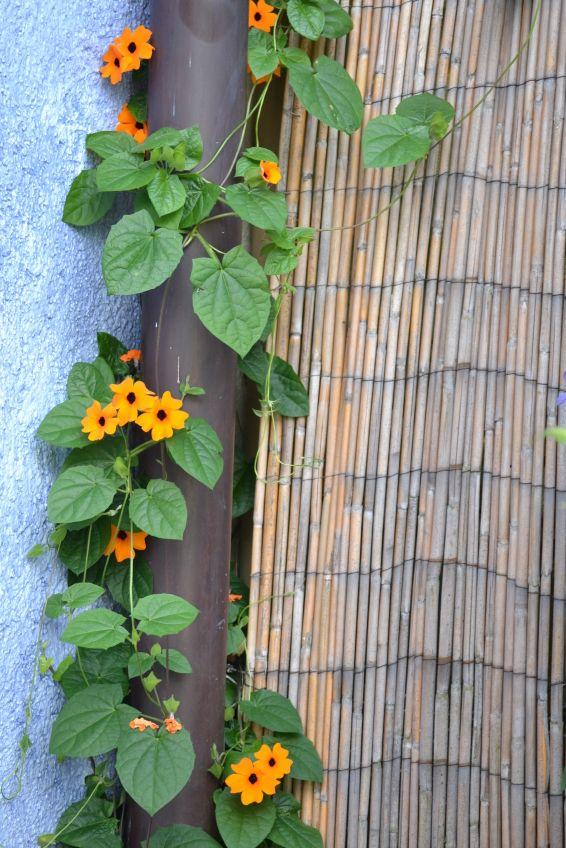 die besten 25 schwarz ugige susanne ideen auf pinterest sonnenhut pflanze lilie garten und. Black Bedroom Furniture Sets. Home Design Ideas