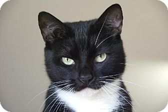 DeeDee -Seal Beach Animal Care Center in  Seal Beach, CA - ADOPT OR FOSTER - Adult Spayed Female Domestic Shorthair