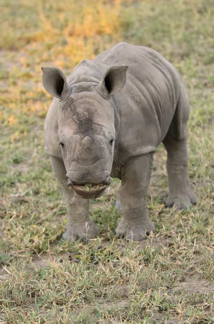 This baby rhino under the watchful eye of his mom confidently walked to within five meters of the vehicle. Canon 500d F2.8 1/400 ISO 400