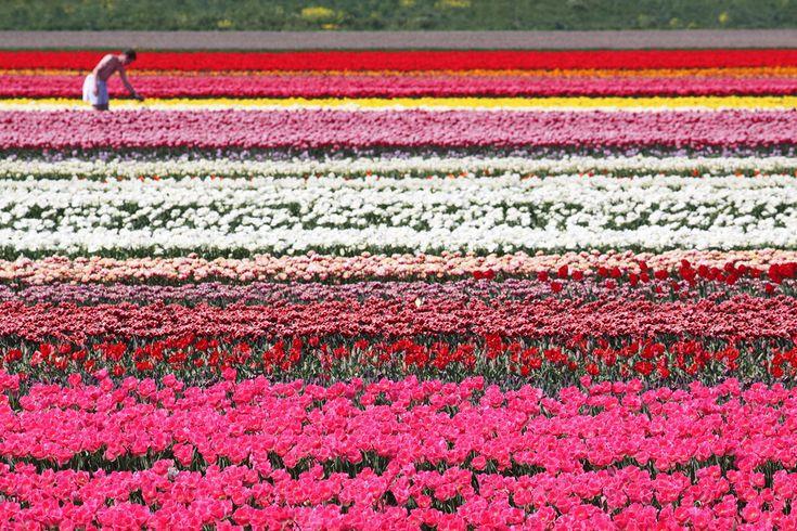 Тюльпаны — достояние Нидерландов. В пик цветения поля страны превращаются в разноцветные ковры (жёлтые, красные, фиолетовые, белые) со сладким запахом. (Dirk-Jan Kraan)